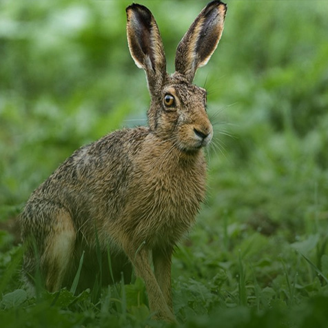 vanatoare-iepuri-wild-hunting-romania