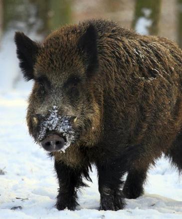 vanatoare mistret wild hunting romania